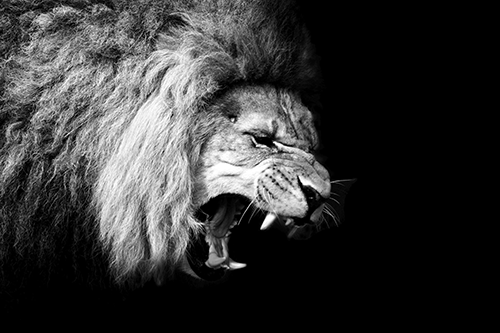 The King of the Jungle 500x333